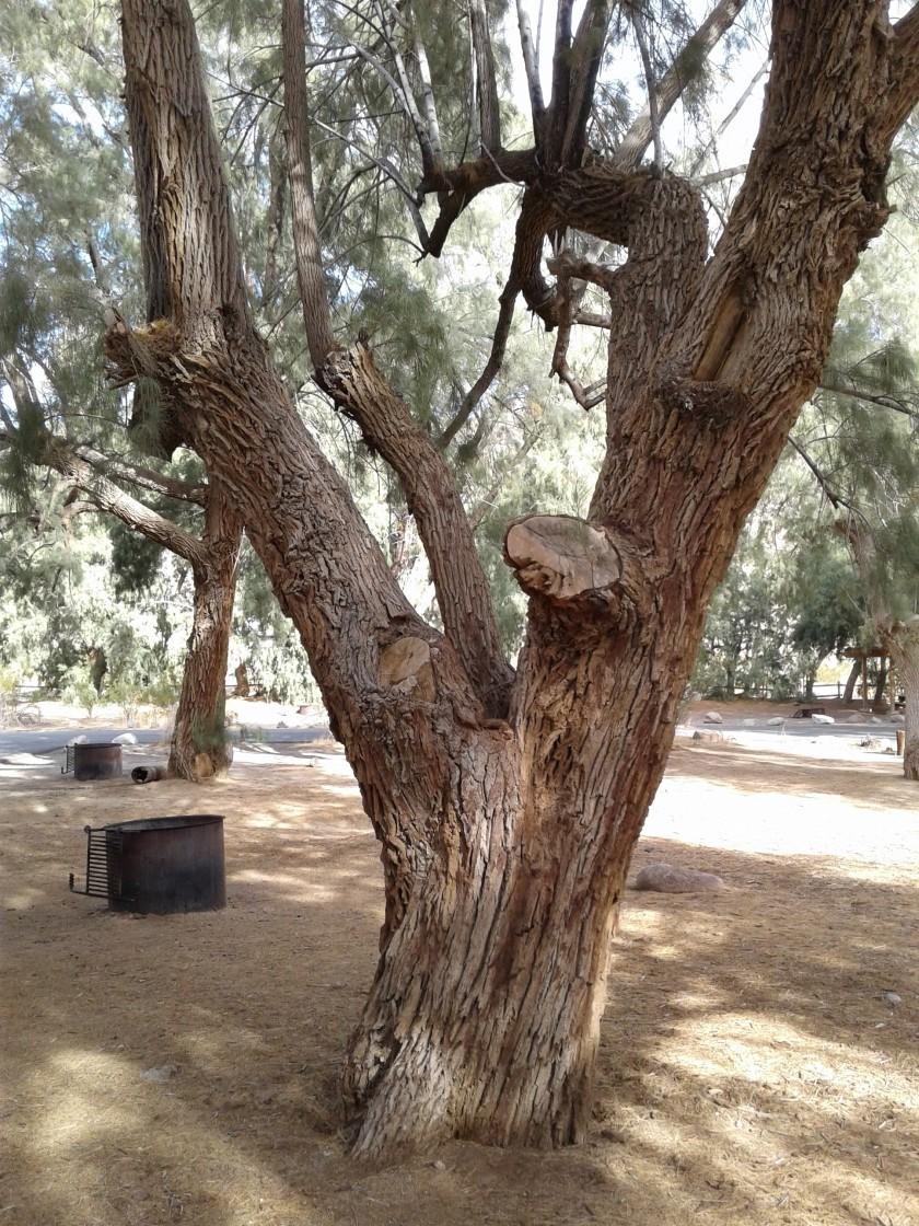CA desert tree bark