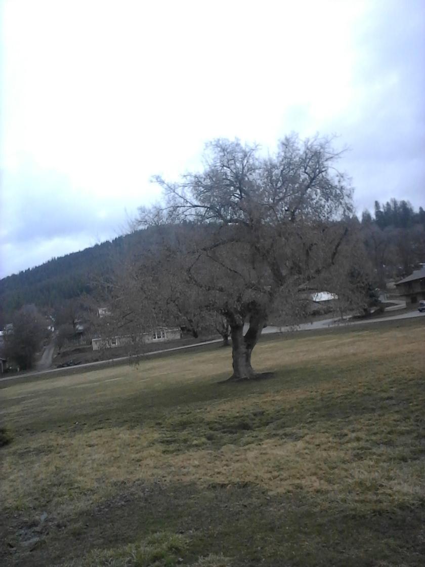 Colville Tree in Park